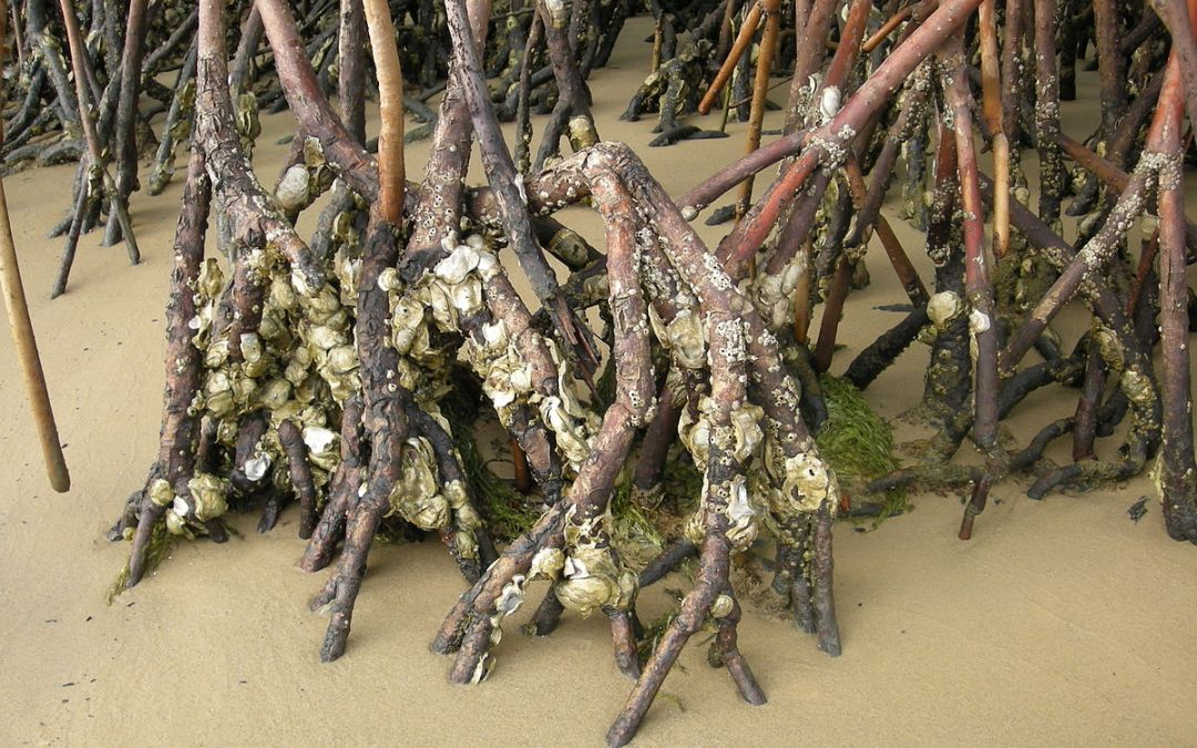 Did you know that in the Caribbean there are oysters that can climb trees