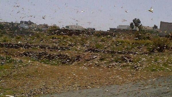 الجراد يأتي على الأخضر واليابس جنوب إدلب