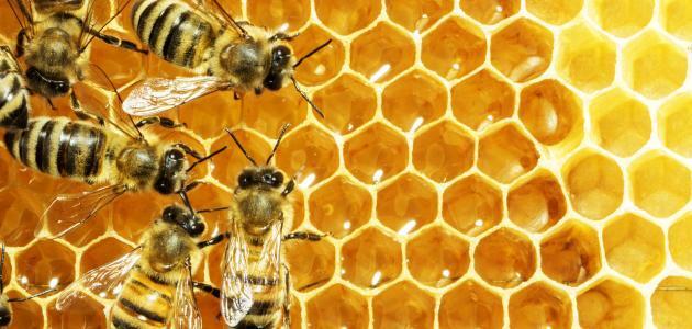 كيف يصنع النحل العسل ؟