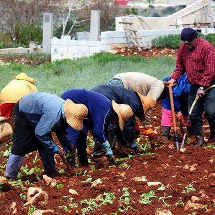 أوضاع زراعة التبغ في الجنوب والنبطية