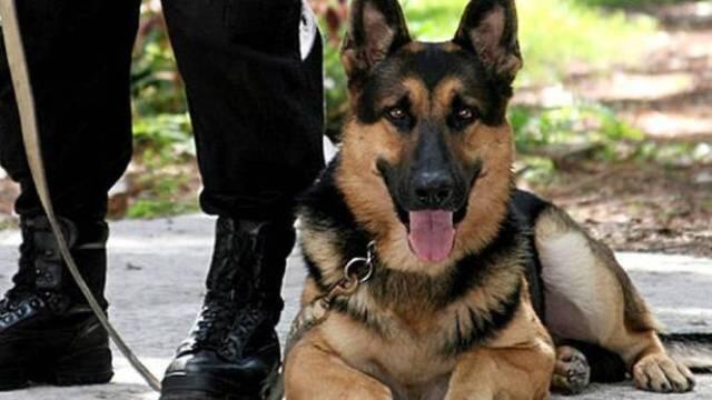 كلب يتلقى رصاصة بدلاً من مدربه