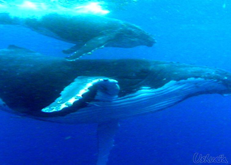 اسرع الحيوانات نموا هو ابن الحوت الأزرق، حيث يكتسب هذا الصغير 26 طن من الوزن خلال سنتين فقط