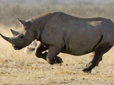 اذا قام انسان ووحيد القرن بسباق لمسافة قصيرة فسيكون وحيد القرن هو الفائز