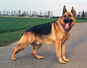 الكلب يستطيع أن يسمع دقات الساعة وهو على بعد 40 قدم