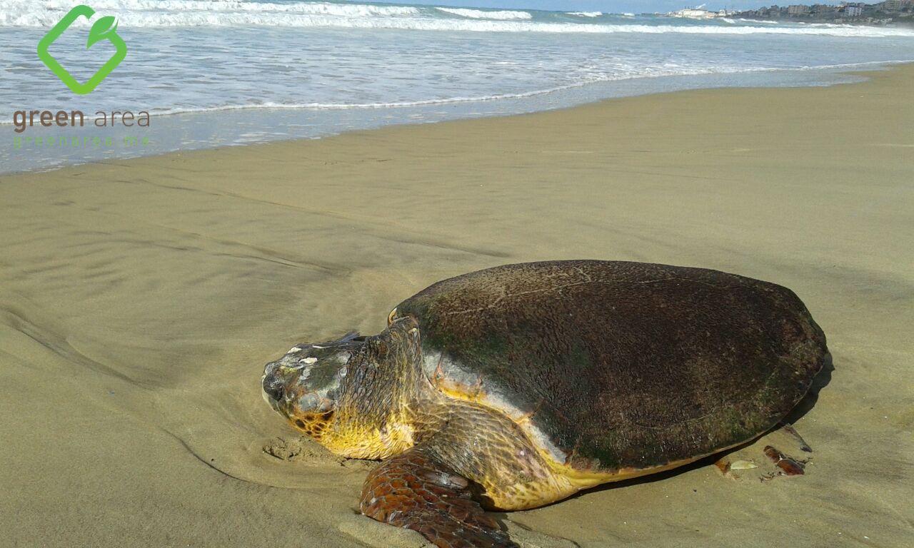 غرين إيريا الدولية والإنقاذ البحري (الجية) ينقذان سلحفاة بحرية في الرميلة