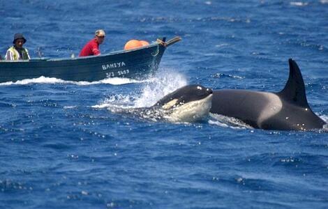 الدلفين الكبير ينغص حياة الصيادين  في المغرب..ما الحل؟