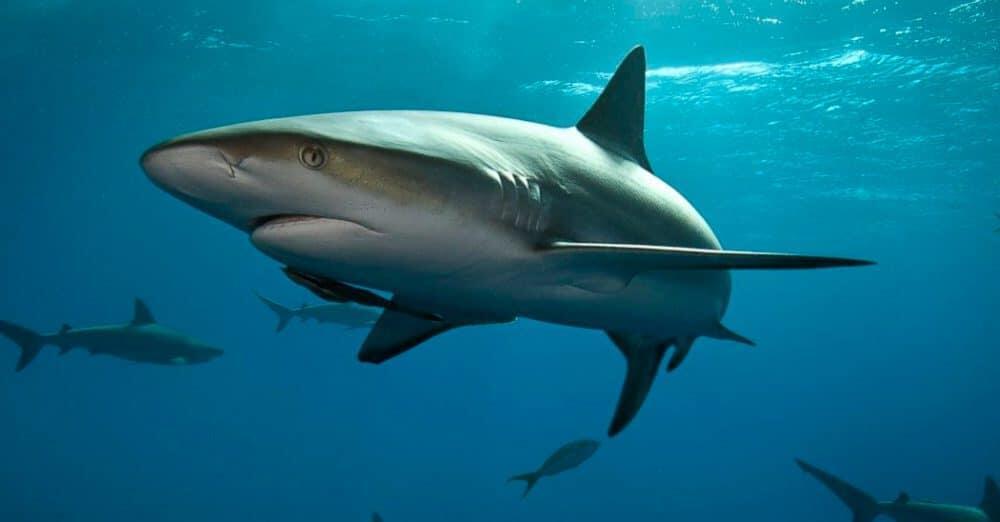 ¿Cuantos años viven los Tiburones?