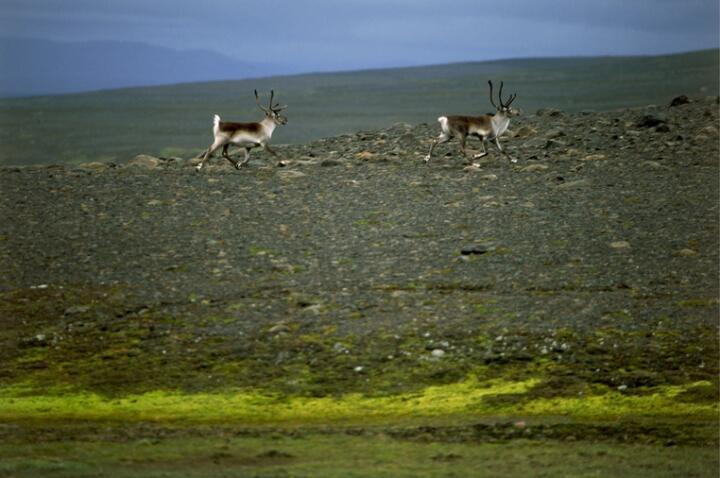 Avertissement de renne à l'est de l'Islande