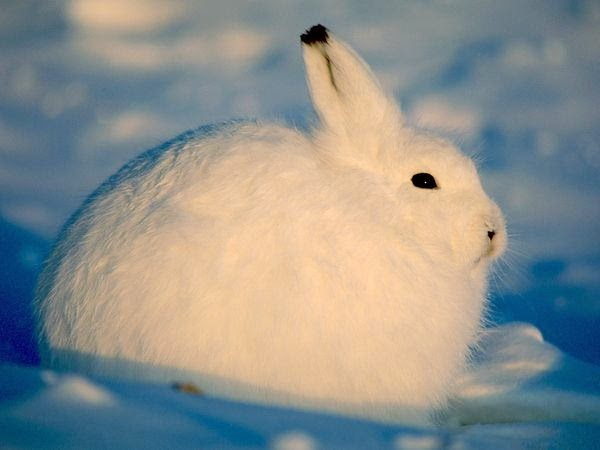 الأرانب الثلجية .. هل تنقرض؟
