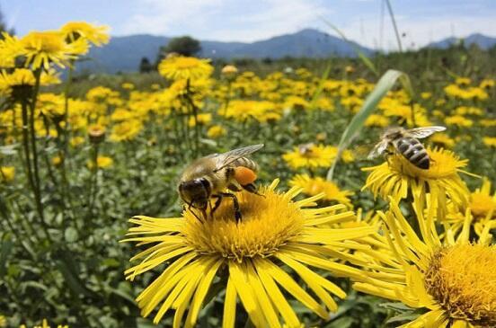 النحل يفضّل الطعام المحلي.. والنباتات الغريبة تؤذيه!