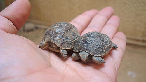 ما سرّ عشق المغاربة لتربية السلاحف؟