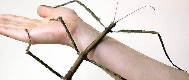 أطول حشرة في العالم تُسمّى (الحشرة العصوية), يمكن ان يصل طول هذه الحشرة العملاقة الأندونيسية حوالي 30 سنتمترا من رأسها إلى أطراف قوائمها