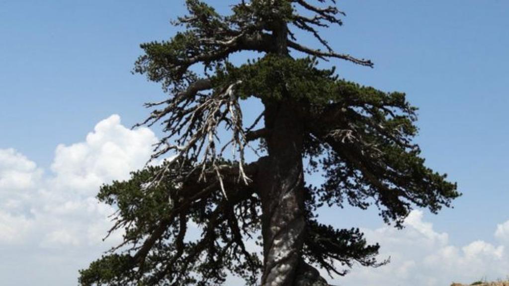 شجرة  عمرها 1230 عامًا في أوروبا!