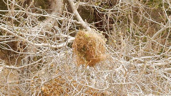 النائب فريد البستاني حذر من حشرة تفتك باشجار الصنوبر في وادي الست والمناطق المحيطة
