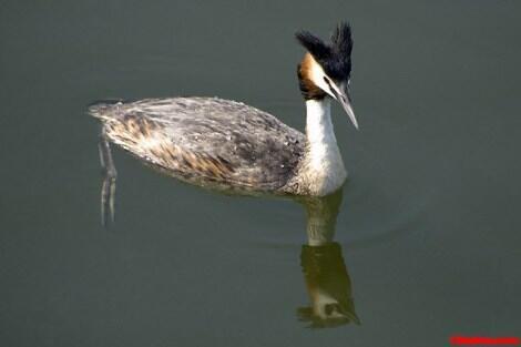 طائر الغطاس  هو طائر لا يستطيع المشي لأن أرجله تقع بعيداً في مؤخرة الجسم