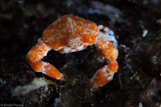 Pebble crab Mactan