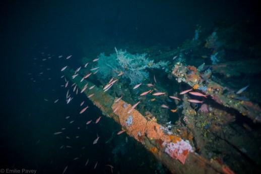 Anthias at Mogami Maru Malapascua