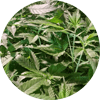 CBD Hemp Plants