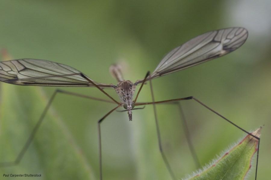 Crane Fly - Daddy Long Legs mr