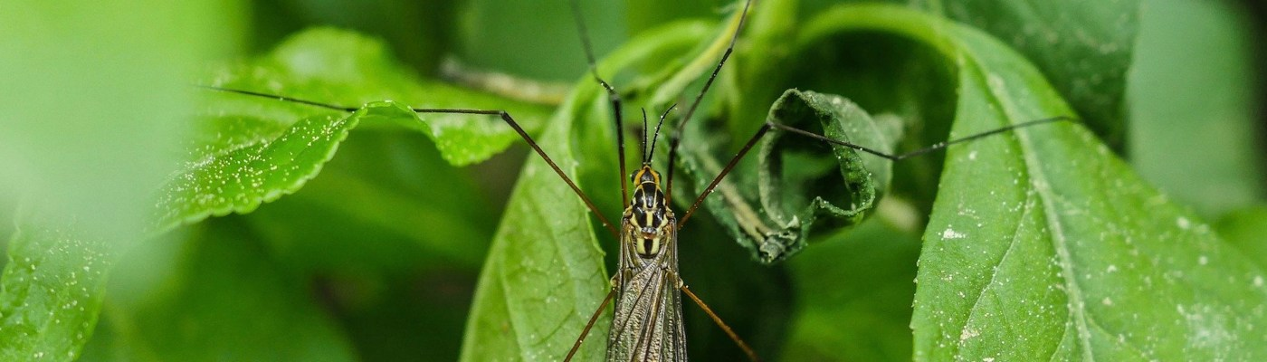 Syngenta Pest Tracker Cranefly