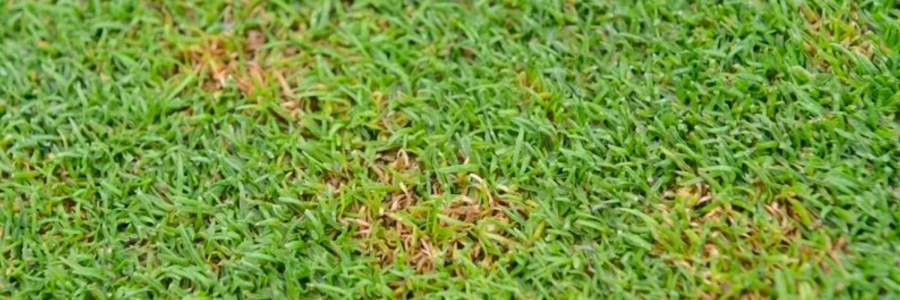 Microdochium fusarium - Instrata Elite