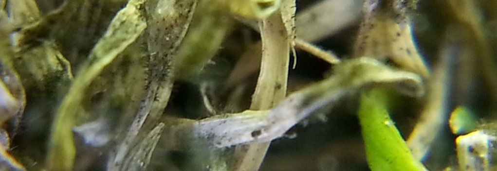 Anthracnose Golf Course Turf