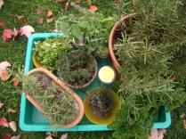 Rosemary, thyme, cilantro, cat nip and parsley from our November garden.