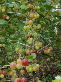 Gooseberries are reddening and sweetening up! In the past we've made pies and crumbles, maybe this year we'll try jam.