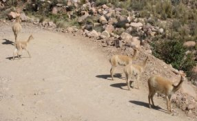 A family of rare wild vicuna on the way out of the valley
