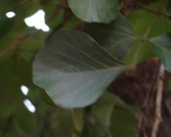 Butea monosperma-Leaf