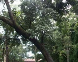 Butea monosperma-Mature tree view