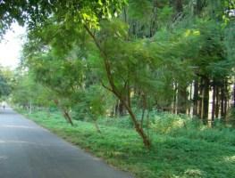 Jacaranda mimosaefolia_Standing Tree at FRI Campus