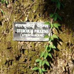 <em>Sterculia spp.</em>