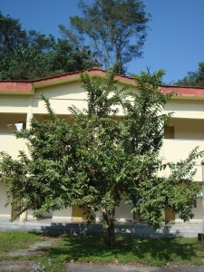 Psidium guajava_Tree