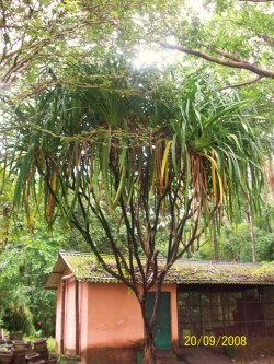 Pandanus furcatus_Tree
