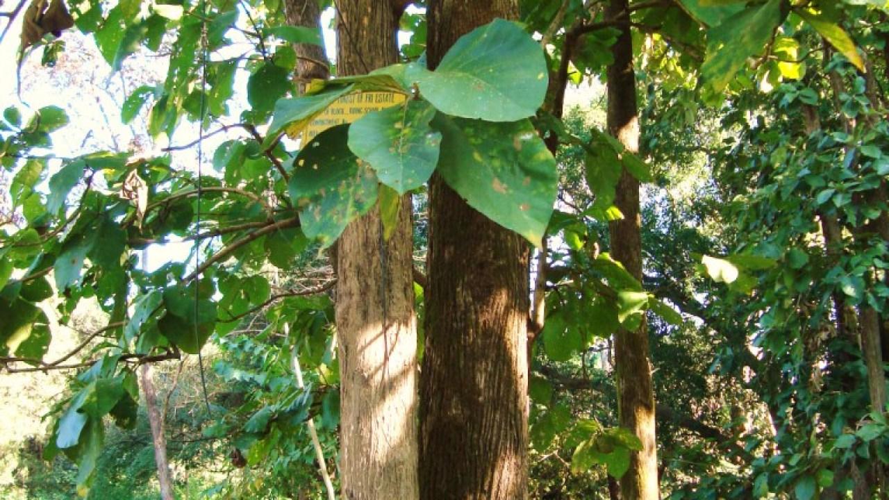 Economic Importance Of Tectona Grandis Green Clean Guide