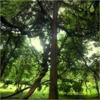 Michelia -Tree