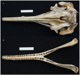 Inia araguaiaensis cranium & mandible