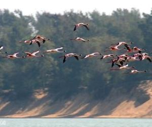 Lesser Flamingo at Chilika lake_Orissa_India