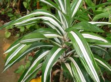 Warneckii plant