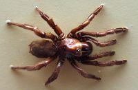 Australian Museum spider_Giaus Villosus