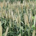 Grain millet