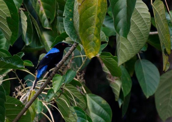 Asian-Fairy-Bluebird-feeding-on-Callicarpa-sp
