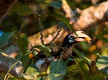 Oriental-Pied-Hornbill-feeding-on-Ficus-altissima