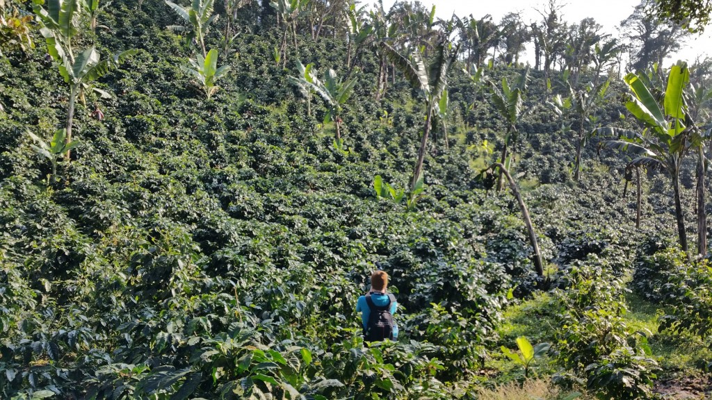 Organic Dominican Republic Microlot Ramirez Estate Coming Soon