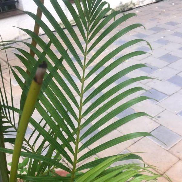 Areca palm leaf