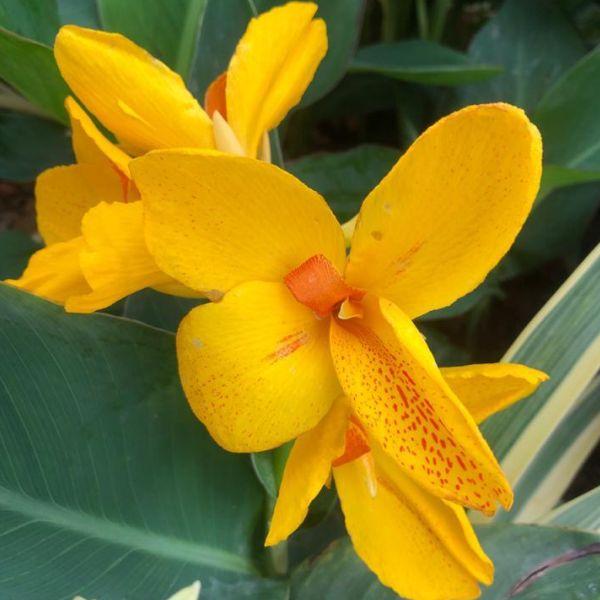 Canna yellow