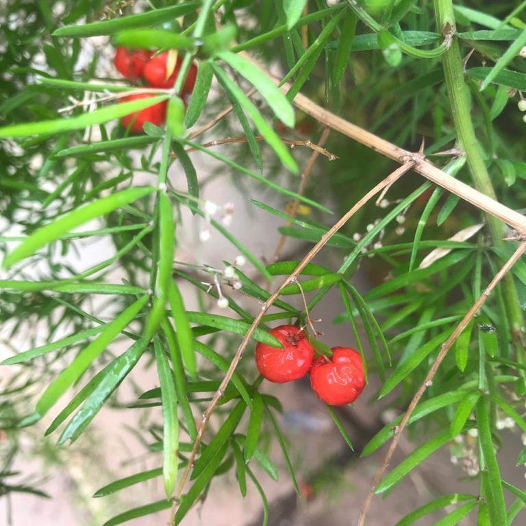 Shatavari ripe seeds
