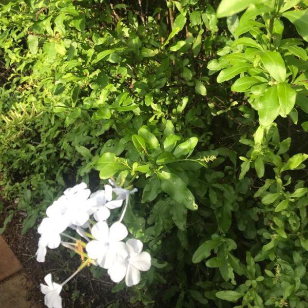 Plumbago Auriculata: Cape leadwort