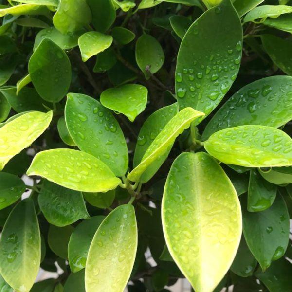 Ficus Microcarpa: Curtain fig